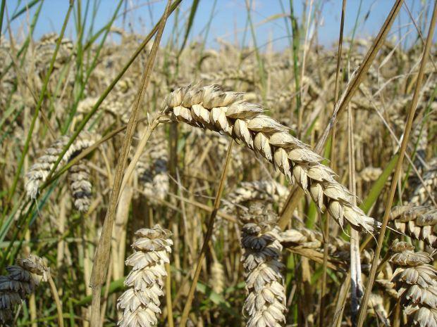 1280px-Wheat_close-up