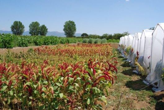 Amaranto 03-coltura in Toscana-Selezione nuove varietà